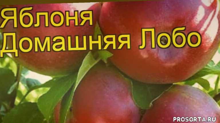 яблоня домашняя лобо какие растения сажают рядом, яблоня домашняя лобо посадка и уход, яблоня домашняя лобо уход, яблоня домашняя лобо посадка, яблоня домашняя лобо отзывы, где купить саженцы яблоню домашнюю лобо, купить саженцы яблони лобо, саженцы яблоню домашнюю лобо