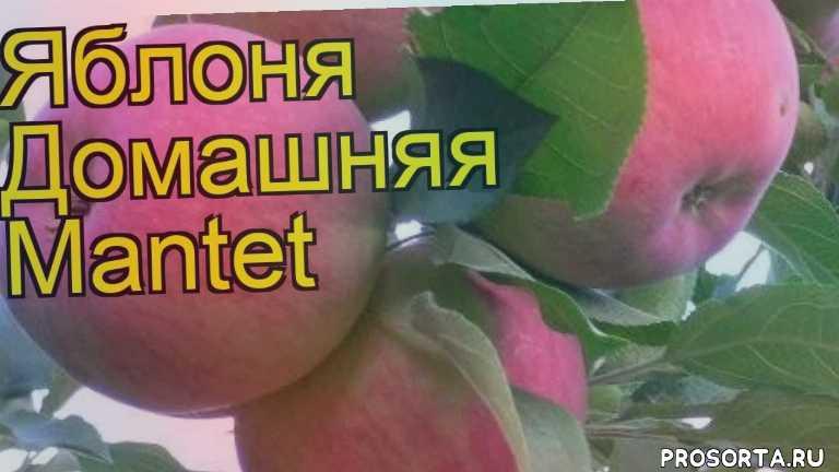 яблоня домашняя мантет посадка и уход, яблоня домашняя мантет уход, яблоня домашняя мантет посадка, яблоня домашняя мантет отзывы, где купить саженцы яблоню домашнюю мантет, купить саженцы яблони мантет, саженцы яблоню домашнюю мантет, видео яблоня домашняя мантет