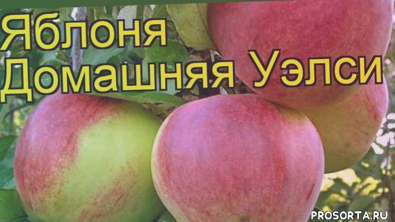 яблоня домашняя уэлси посадка и уход, яблоня домашняя уэлси уход, яблоня домашняя уэлси посадка, яблоня домашняя уэлси отзывы, где купить саженцы яблоню домашнюю уэлси, купить саженцы яблони уэлси, саженцы яблоню домашнюю уэлси, видео яблоня домашняя уэлси