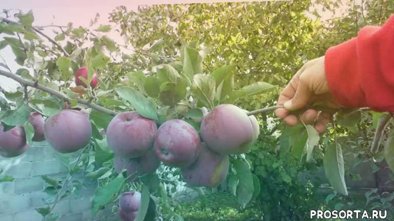 дерево яблоня, урожай яблок, зимний сорт яблок, сорт флорина, яблоня флорина, флорина