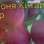 Яблоня Китайка Керр (Китайка Керр). Краткий обзор, описание характеристик, где купить саженцы