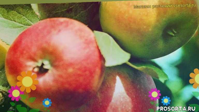 яблоня коробовка какие растения сажают рядом, яблоня коробовка посадка и уход, яблоня коробовка уход, яблоня коробовка посадка, яблоня коробовка отзывы, где купить саженцы яблоню коробовка, купить саженцы яблони коробовка, саженцы яблоню коробовка