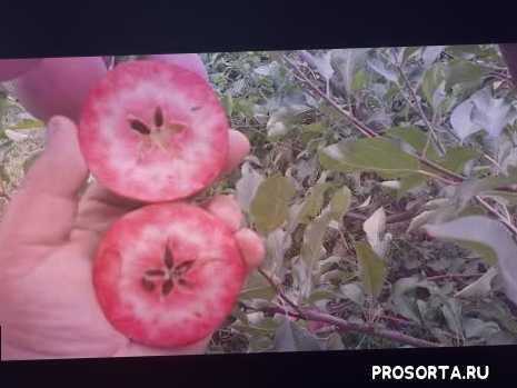 саженцы кропивницкий, красномясые яблоки, яблоня цирцея, aple redlove circe