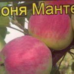 Яблоня Мантет (Яблоня). Краткий обзор, описание характеристик, где купить саженцы malus domestica