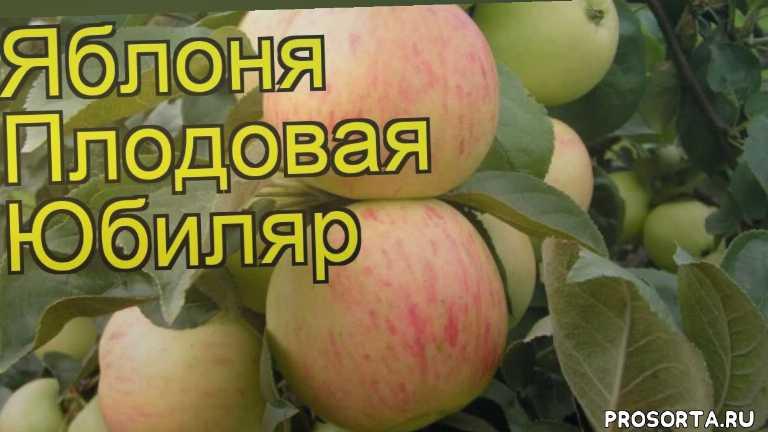 яблоня плодовая юбиляр посадка и уход, яблоня плодовая юбиляр уход, яблоня плодовая юбиляр посадка, яблоня плодовая юбиляр отзывы, где купить саженцы яблоню плодовую юбиляр, купить саженцы яблони юбиляр, саженцы яблоню плодовую юбиляр, видео яблоня плодовая юбиляр