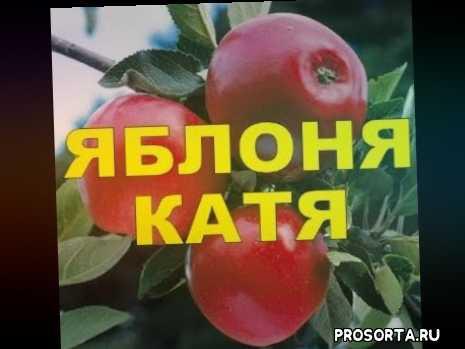 сад, летние сорта, красные сладкие яблоки, шведские сорта яблони, яблоня катя, агротехника, саженцы, подвои