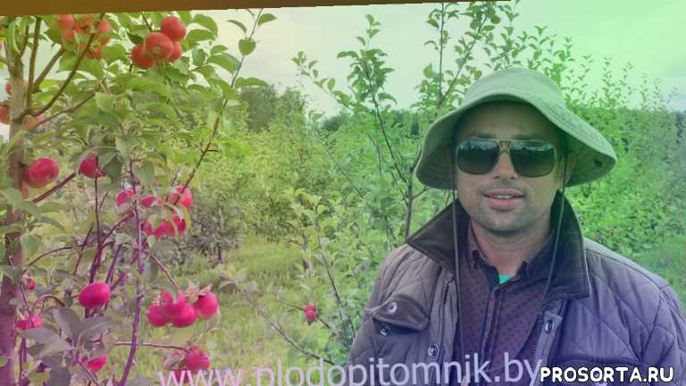 белорусские сорта яблок, яблони в беларуси, саженцы яблонь, зимостойкие яблоки, питомник растений сад, сладкие яблоки, летние сорта яблок, яблоки елена