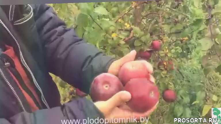 саженцы яблонь, яблоня сорт имант, имант, яблоня
