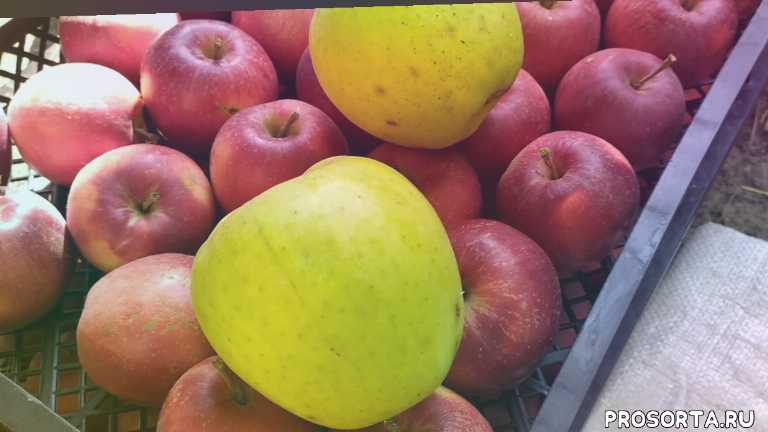 олег занединов, лежкие сорта, зимние сорта, сорта, яблони, снежный кальвиль, мутцу