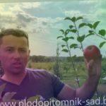 Яблоня сорт Вербное. Надёжный поздний сорт яблок белорусской селекции.