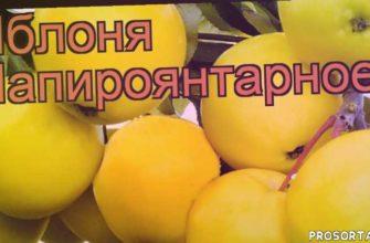 саженцы яблони, яблоня средний папироянтарное обзор как сажать, яблоня средний папироянтарное обзор, яблоня папироянтарное обзор как сажать, лиственные деревья, деревья, средний яблоня папироянтарное обзор как сажать, средний яблоня папироянтарное обзор