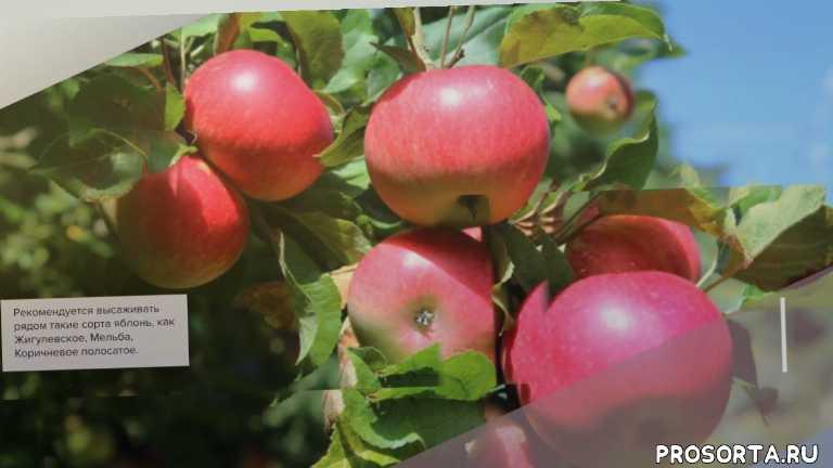 Яблоня Зимняя Красавица - обзор сорта