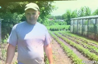 выращивание сладкого перца, подкормка перца, древесная зола