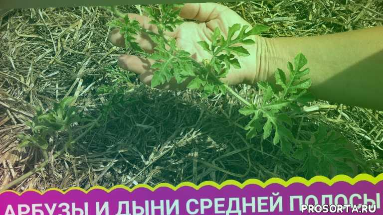 куриный помет, питательная среда, удобрение, теплые грядки, дыня, арбуз, огород, сад