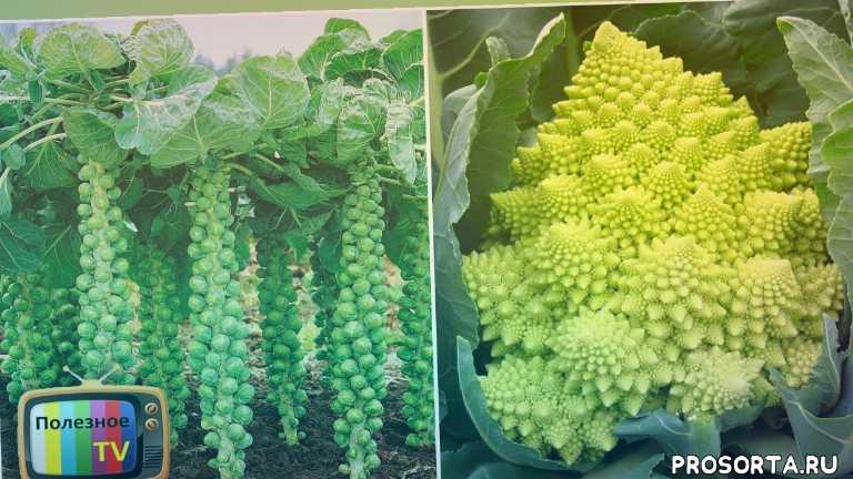 сорт капусты, капуста посадка, капуста рассада, когда сажать капусту, способ посева, выращивание рассады капусты, выращивание капусты, семена