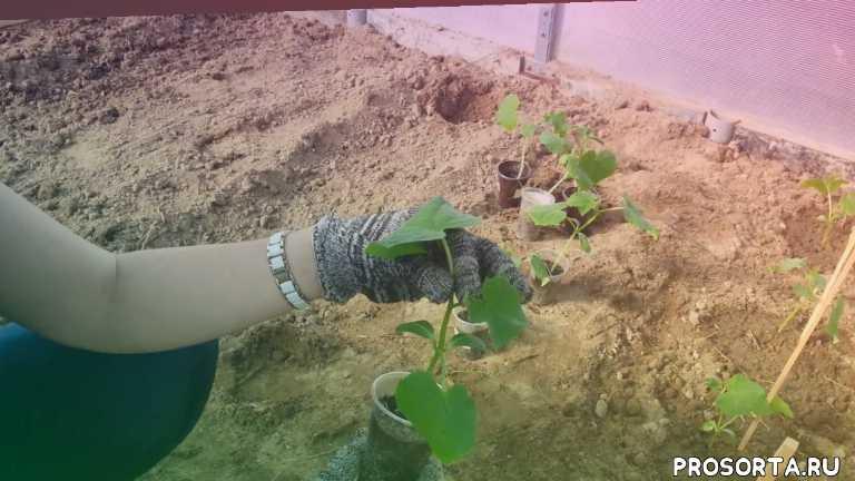 все о огурцах, vlog, влог, наши огурцы, сад и огород, растениеводство, когда высаживать огурцы в теплицу, огурцы в теплице