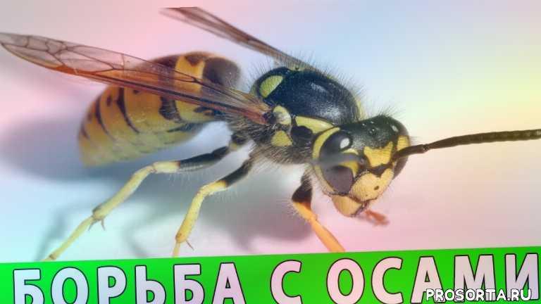 вредители, осы, оса, борьба с осами, как избавиться от ос на даче, осы как избавиться, как избавиться от ос