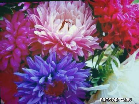 посев под, семена под зиму, цветы под зиму, семена цветов, выращивание семян, астра, цветы, подзимний посев