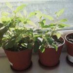 Как поживают комнатные цветы на осеннем балконе (кактусы, суккуленты, пеларгонии, фуксии)
