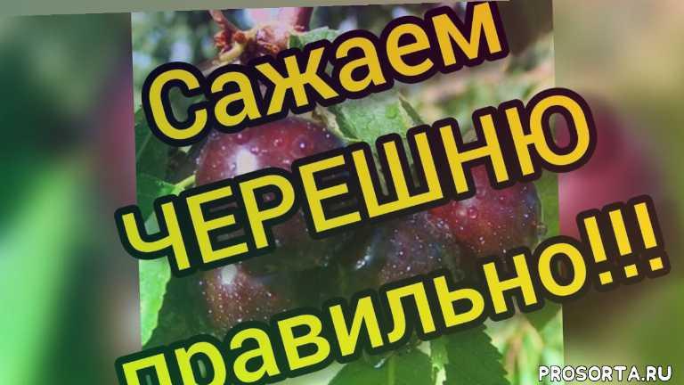 чтобы черешня хорошо росла, добавить перегной песок суперфосфат сернокислый калий золу, посадка черешни, как правильно посадить черешню