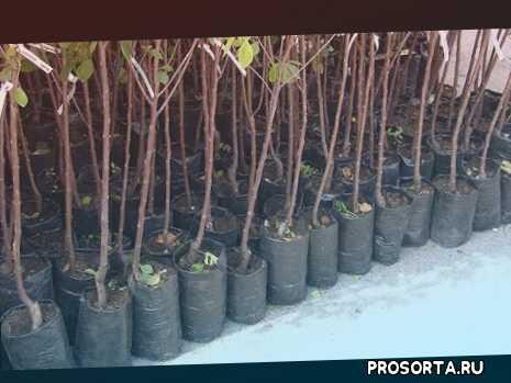 яблоневый сад, посадка саженца, прививка, корневая система, размер, выбор саженца, покупка саженца, питомник