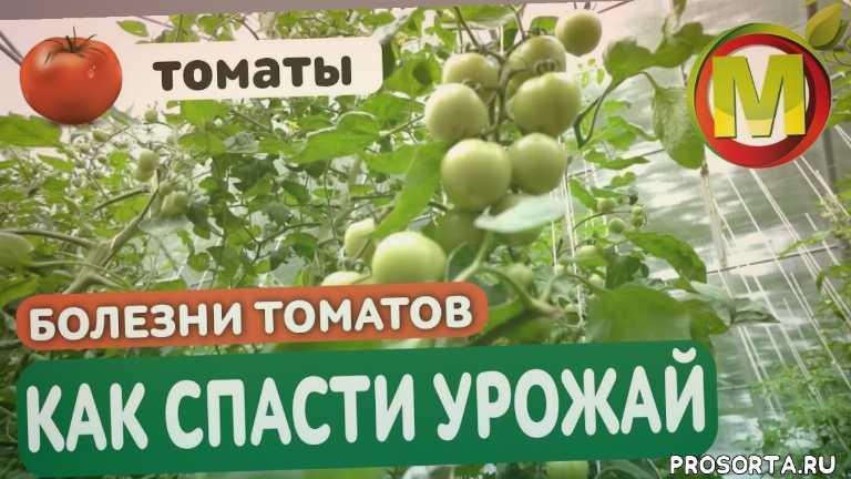 фитофтороз, фитофтор, помидоры в теплице, томаты в теплице, урожайный огород, фитофтороз томатов в открытом грунте, фитофтороз томатов фото, фитофтороз томатов лечение