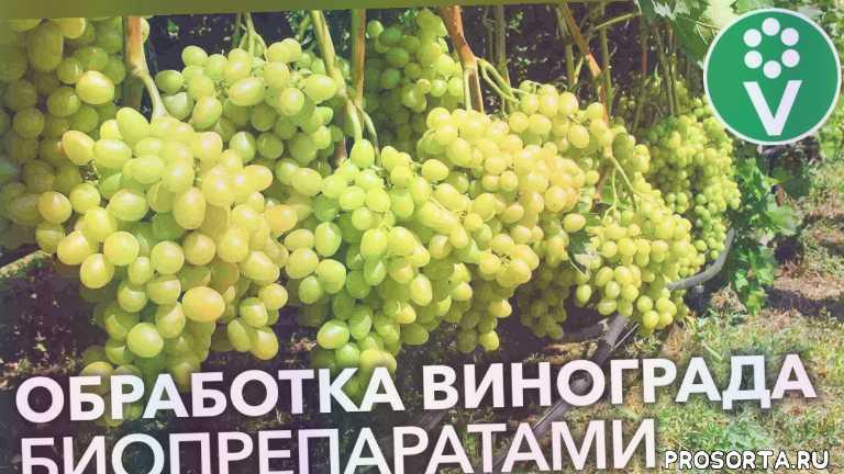 procvetok, процветок, чем опрыскивать виноград весной, виноград после весны, чем обработать виноград весной, ранняя весна виноград, болезнь винограда весной, обработка винограда весной