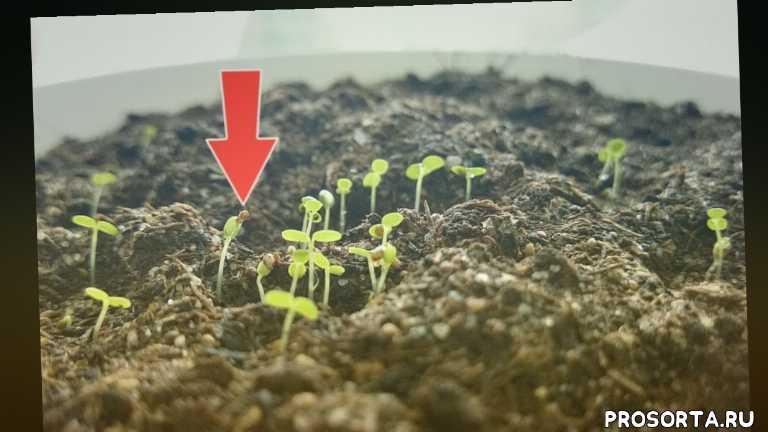 клубнику на рассаду, клубнику из семян, посев клубники семянами дома, как вырастить клубнику из семян?, когда сеять клубнику?, как выращивать клубнику землянику, как выращивать клубнику землянику из семян, как выращивать клубнику землянику из семян в домашних условиях