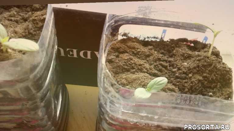 Как Выращивать Огурцы на Подоконнике в Квартире.