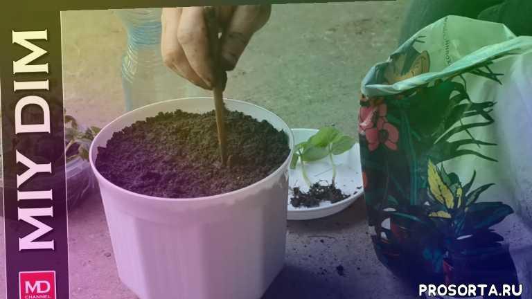 miy dim, лайфхаки, эксперимент, урожай огурцов, посадка огурцов, огурцы в грунт, огурцы, можно ли вырастить