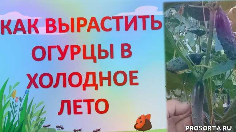 роман буров, какие огурцы посадить, агротехника огурцов, огуречные секреты, огурцы в холодном климате, огурцы в холодное лето, огурцы в московской области, огурцы на подвязках