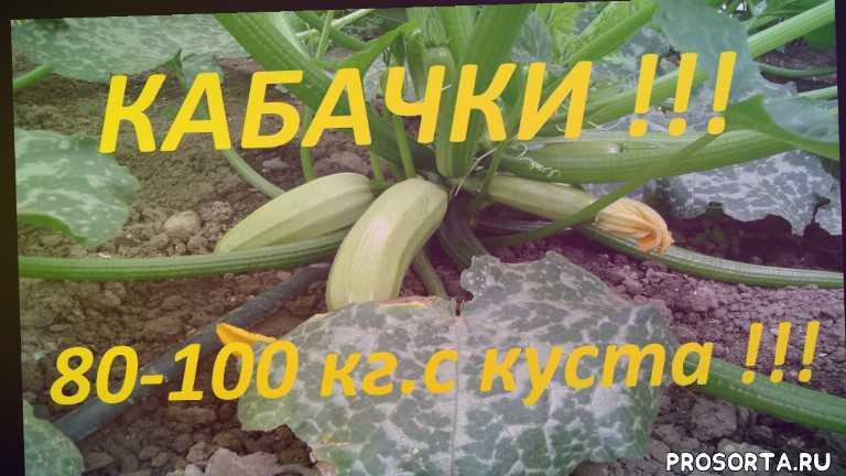патиссоны, патиссон, как вырастить кабачки, как вырастить, блюда из кабачков, применение кабачков, рецепты из кабачков, как вырастить кабачок
