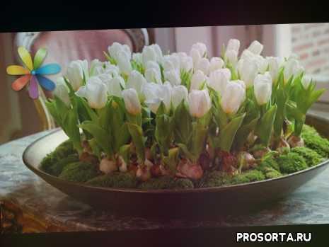 как вырастить тюльпаны, анна репик, ольга волкова, выращивание тюльпанов, как выращивать тюльпаны дома, как выращивать тюльпаны, тюльпаны, как