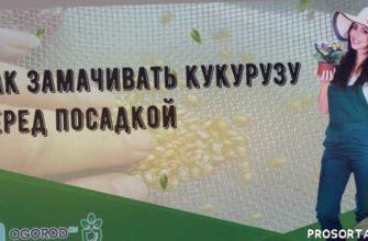Как замачивать кукурузу перед посадкой