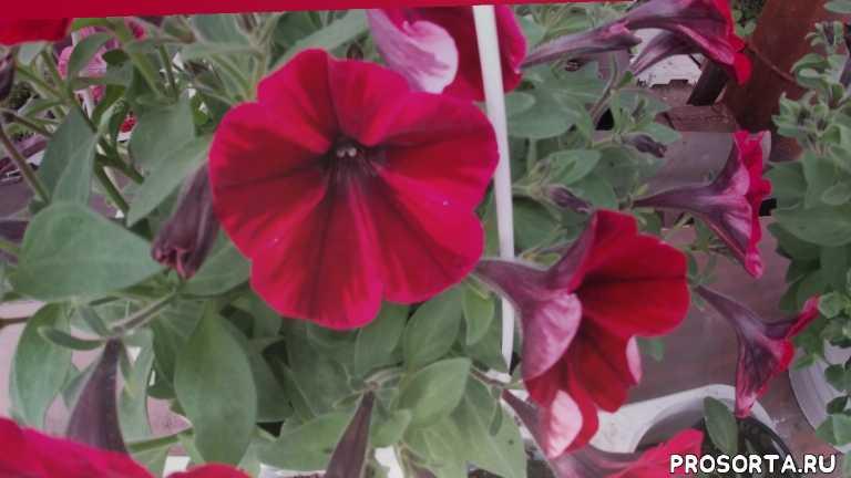 огород, сад, цветочный бизнес, 8 марта, цинерария, примула, мультифлора, хризантема