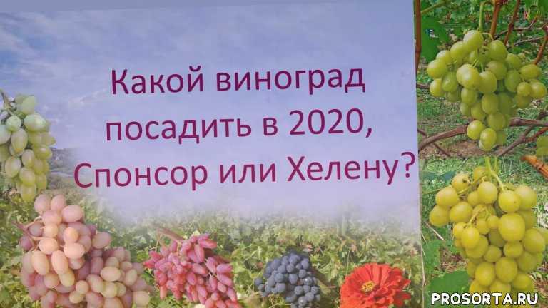 хороший виноград, виноград хелена, виноград спонсор, виноград дарья, винограда, какой виноград посадить