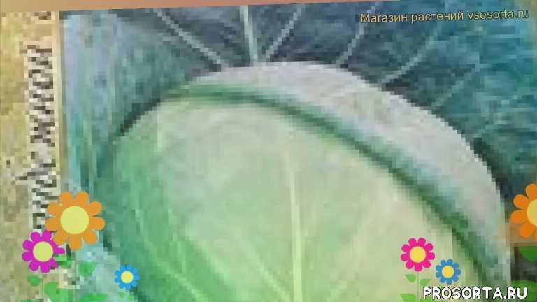 капуста белокочанная атрия f1 уход, капуста белокочанная атрия f1 посадка, капуста белокочанная атрия f1 отзывы, где купить семена капусту белокочанную атрия f1, купить семена капусты атрия f1, семена капусту белокочанную атрия f1, видео капуста белокочанная атрия f1, капуста белокочанная атрия f1 описание характеристик