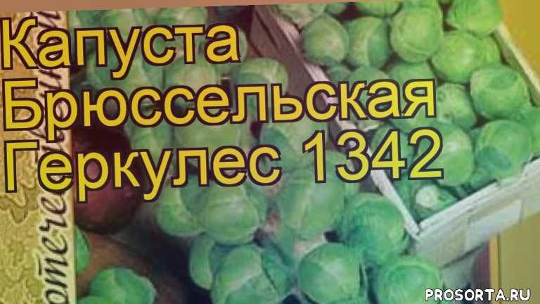 капуста брюссельская геркулес 1342 отзывы, где купить семена капусту брюссельскую геркулес 1342, купить семена капусты геркулес 1342, семена капусту брюссельскую геркулес 1342, видео капуста брюссельская геркулес 1342, капуста брюссельская геркулес 1342 описание характеристик, краткий обзор капуста брюссельская геркулес 1342, gerkules 1342