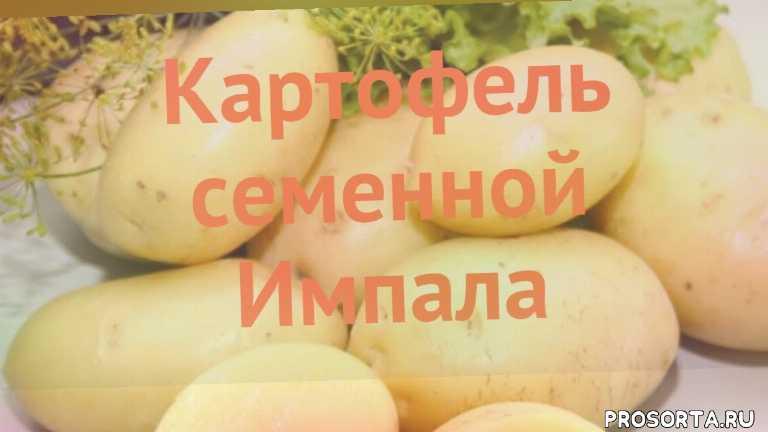 семенной картофель картофеля, семенной картофель картофеля импала, картофель семенной импала как сажать, картофель семенной импала обзор как сажать, картофель семенной импала обзор, картофель импала обзор как сажать, травы, семенной картофель импала обзор как сажать