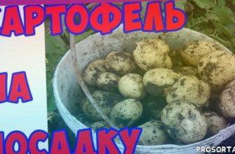посадочный картофель элита, урожайные сорта картофеля, как выростить картофель, семенной картфель, королева анна, сорт гренада, ред леди, сорта катрофеля