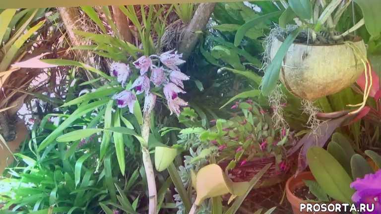 уход за вандой, уход за орхидеей, орхидея, ванда, дендробиум, vanda, dendrobium, cattleya ametistоglossa