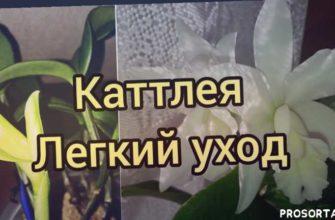 каттлея снились корни, каттлея сохнет, каттлея нет корней, каттлея реанимация, каттлея корни, каттлея субстрат, каттлея полив, каттлея удобрение