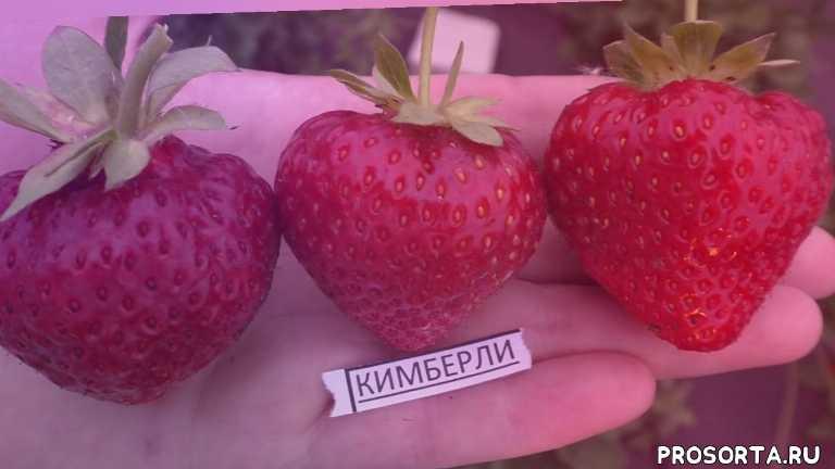 способ получения большого урожая ягоды, как посадить землянику, купить саженцы, ранняя клубника, сладкий сорт, kimberly, кимберли, гречишникова татьяна александровна