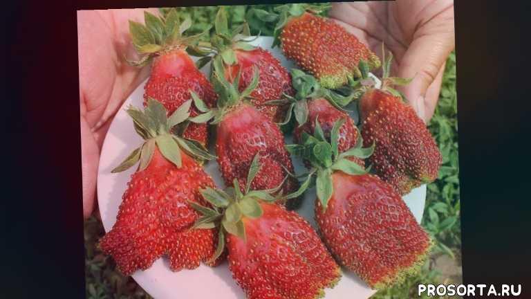 честная ягода, марина акимова, зубцов, рассада купчиха, сорт купчиха, выращивание купчихи, купить купчиху, клубника рассада