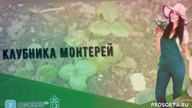 Клубника Монтерей