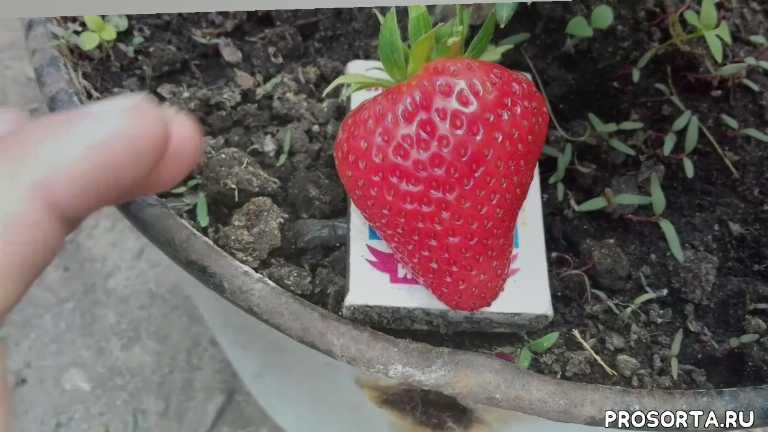 как вырастить, садовую землянику из семян на подоконнике, как вырастить клубнику, советы огородникам, садовые советы, советы садоводам, клубника из семян, клубника искушение f1