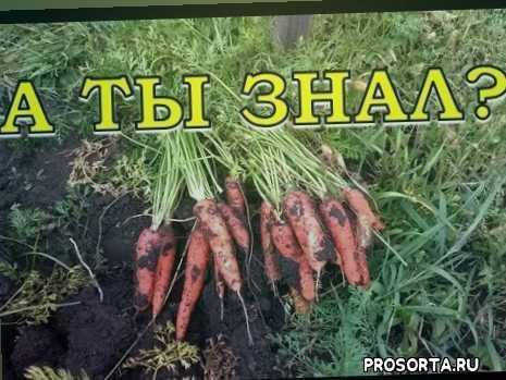 лук морковка, рецепт морковь, зима морковь, морковка +на зиму, морковка, морковь какой, +когда убирать морковь +с грядки +на хранение, после морковь