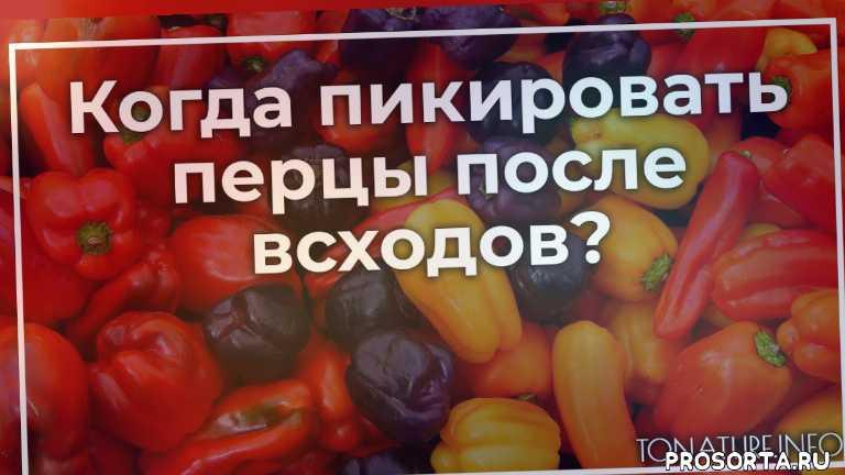 правильная пикировка перцев, как производить пикировку, как пикировать перцы, пикировка перцев, перец уход, условия для перца, выращивание перца, перец