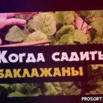 Когда сажать баклажаны в грунт. Рассада баклажан в Сибири, Урале и Дальнем Востоке
