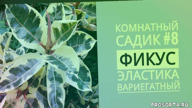 пестролистный фикус, цветок, растение, в какой грунт пересадить фикус, в какую почву пересадить фикус, в какую землю пересадить фикус, земля для фикуса, субстрат для фикуса